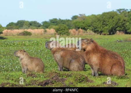 Family of Capybara (Hydrochoerus hydrochaeris) in the Pantanal - Stock Photo