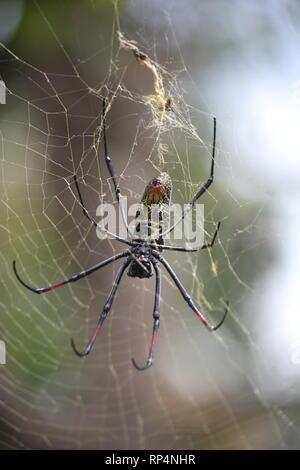 Banded-legged Golden Orb-web Spider (Nephila senegalensis) in a hotel garden at Diani Beach, Kenya - Stock Photo