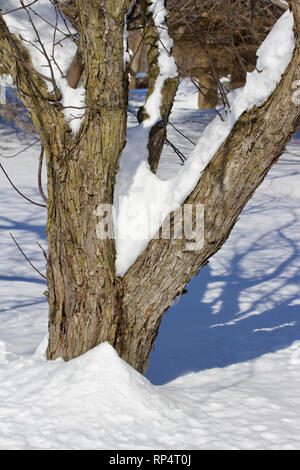 View of heavy snow covering the limbs of a deciduous tree after a winter blizzard - Stock Photo