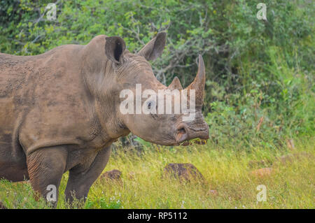 Male bull Cute White Rhino or Rhinoceros in a nature wild reserve in South Africa - Stock Photo