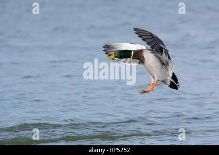 Male Mallard duck coming in to land