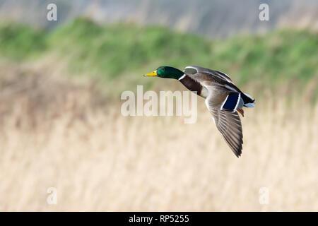 Male Mallard duck in flight - Stock Photo