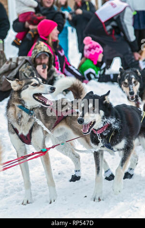 Grand Marais, Michigan - Sled dogs at the halfway point of the UP 200, an annual 238-mile race from Marquette, Michigan to Grand Marais and back. - Stock Photo
