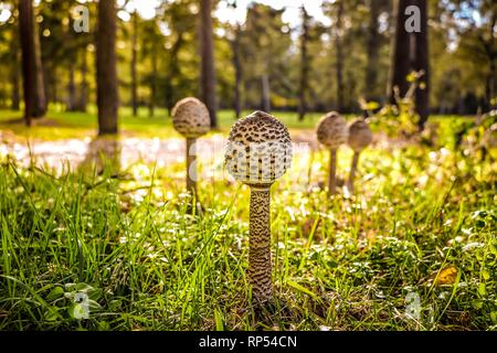 The Parasol Mushroom, Macrolepiota procera, a common but highly prized edible species of mushroom, often collected on fungus forays in the autumn. - Stock Photo