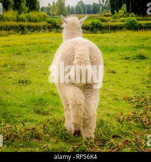 Alpaca (Vicugna pacos) - a species of South American camelid.
