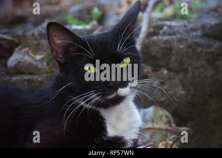 Feral domestic black and white Cat staring at the camera - Stock Photo