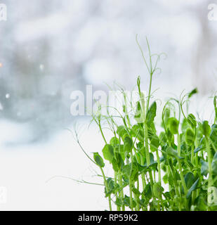 Sprouts of young peas, close to the texture of young sprouts of young peas. micro greens close-up. - Stock Photo
