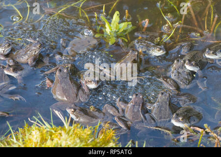 Common Frog, Rana temporaria, many males waiting on frog spawn in breeding pond for females to arrive for spawning, February, garden pond - Stock Photo