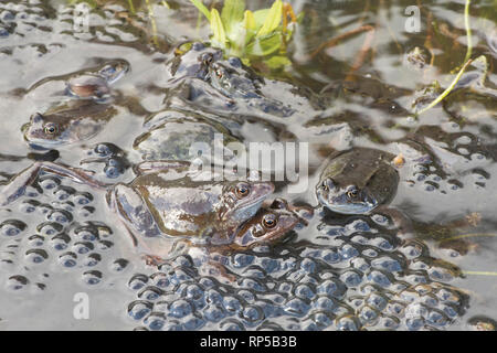 Common Frog, Rana temporaria, one pair, male and female among many males waiting on frog spawn for females to arrive for spawning, - Stock Photo