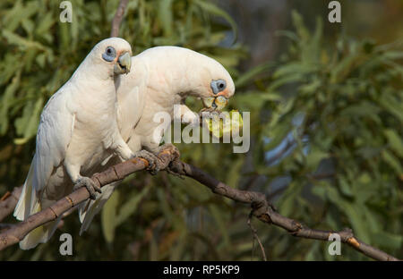 A pair of Little Corellas, Cacatua sanguinea, a type of parrot, perched in a tree with one feeding on a small melon. - Stock Photo