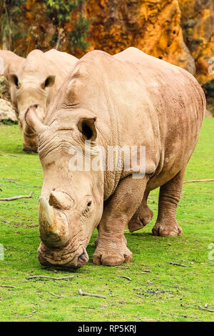 White rhinoceros or White Rhino, Ceratotherium simum, with big horn in Cabarceno Natural Park - Stock Photo