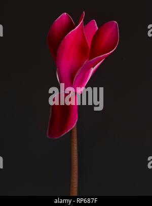 Deep Pink Cyclamen on Stem against Dark Background - Stock Photo