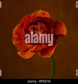 Ranunculus Flower against Dark Orange Background - Stock Photo