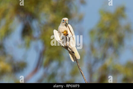 Little Corella, Cacatua sanguinea, a type of parrot perched in a tree feeding on a small melon. - Stock Photo