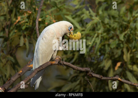 Little Corella, Cacatua sanguinea, a type of parrot, perched in a tree feeding on a small melon. - Stock Photo