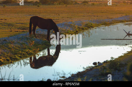 Lone Wild Mustang horse drinking out of stream in Northern Nevada. - Stock Photo