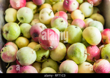 Closeup of many green yellow or pink lady apples in box or sink showing detail and texture for processing - Stock Photo