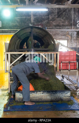 Workers at work in the Lockhart tea factory using traditional methods and machinery.  This is the drying process. - Stock Photo
