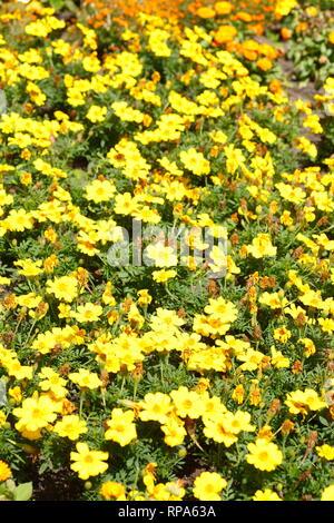 Yellow Zinnia Flowers - Stock Photo