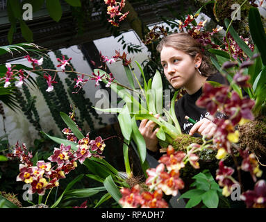 21 February 2019, Saxony, Leipzig: Anna Bech works in the botanical garden on the construction of the orchid show. The show will open on 23 February. Among other things, the largest orchid in Germany will be presented - a 60 year old Dendrobium delicatum. Photo: Monika Skolimowska/dpa-Zentralbild/ZB - Stock Photo