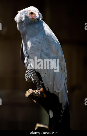 An African Harrier Hawk at the African Raptor Centre bird sanctuary, Natal Midlands, South Africa. - Stock Photo