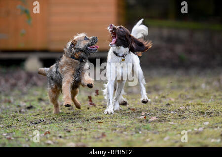 Two young ( 1 Year) English Springer Spaniel and Terrier dogs play fighting showing teeth and aggression but in a non harmful way. - Stock Photo