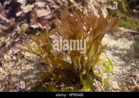 Irish moss / Carrageen (Chondrus crispus) growing in a rock pool, Cornwall, UK, September - Stock Photo