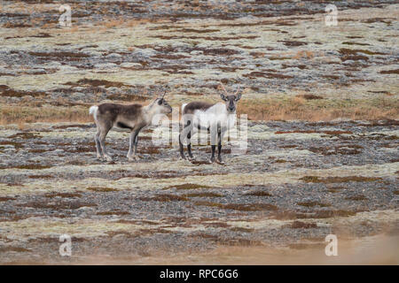 Cold morning in the eastern Iceland, Wild reindeers herd - Stock Photo