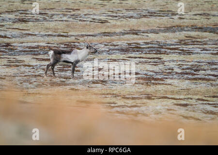 Cold morning in the eastern Iceland, Wild reindeer - Stock Photo