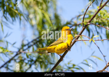 Male Cape Weaver, Ploceus capensis, bright yellow breeding colours in a weeping willow tree, Robertson, Western Cape, South Africa, spring perched bra - Stock Photo