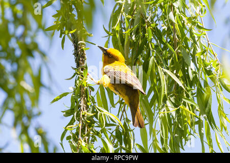 Male Cape Weaver, Ploceus capensis, in bright yellow breeding colours in a weeping willow tree, Robertson, Western Cape, South Africa in spring buildi - Stock Photo