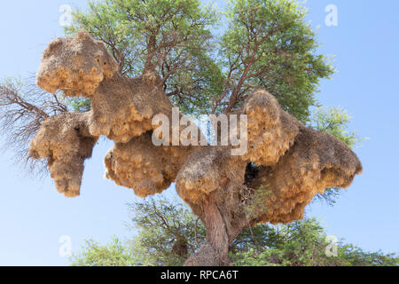 Large communal  nest of the Sociable Weaver, Philetairus socius, in Camel thorn tree, Vachellia erioloba, Kgalagadi Transfrontier Park, Northern Cape, - Stock Photo