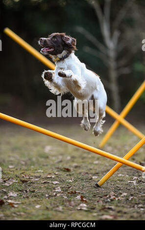 A young English springer spaniel ( 11months) has fun whilst agility training jumping over poles set in the garden. - Stock Photo