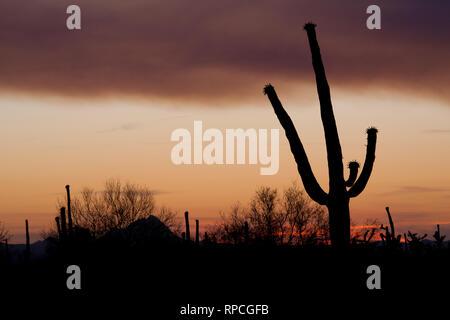 Budding Saguaro - Stock Photo