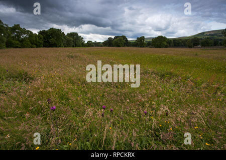 Askrigg Bottoms Meadow with Melancholy thistle Cirsium helenioides Askrigg Wensleydale Yorkshire Dales National Park Yorkshire England UK July 2016 - Stock Photo