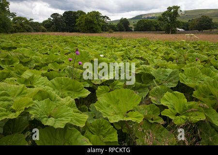 Gunnera species and Melancholy thistle Cirsium helenioides Askrigg Bottoms Meadow Askrigg Wensleydale Yorkshire Dales National Park Yorkshire England  - Stock Photo