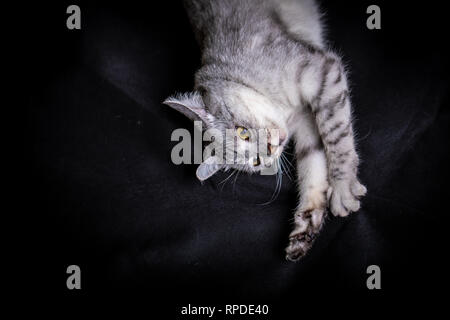 Gray funny tabby cat on black background - Stock Photo