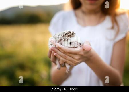 Person Holding Cute Hedgehog in Hands. Scared Spiny Mammal Hedgehog in sitting Position Outdoors on grass scenary and Women Hands Carefully Holding Hi - Stock Photo
