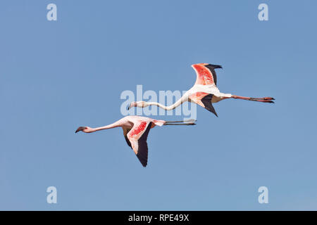 Zwergflamingo, Phoeniconaias minor, Phoenicopterus minor, Lesser Flamingo and Rosaflamingo, Phoenicopterus roseus, Greater Flamingo - Stock Photo