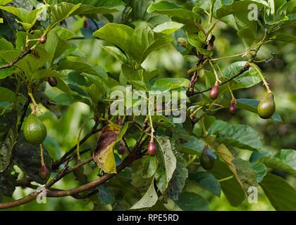Avocado (Persea americana) fruits growing on a tree