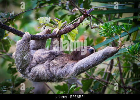 Three-toed sloth, a brown-throated sloth (Bradypus variegatus) with baby image taken in Panama