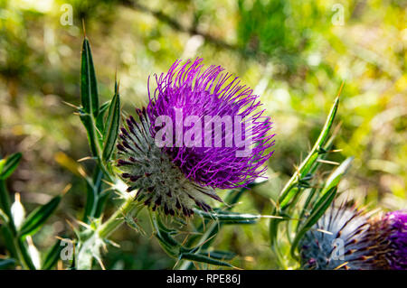Beautiful wild meadow flower, purple and pink color, Flower is know as Carduus - Stock Photo