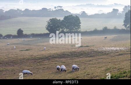 Sheep in fields on beautiful misty morning - Stock Photo