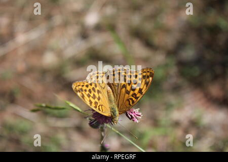 Silver-washed Fritillary (Argynnis paphia) Silberberg, Germany - Stock Photo