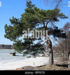 Beautiful evergreen pine tree photographed during a sunny day in Finland. You can see beautiful blue sky, frozen Baltic Sea and the big pine tree. - Stock Photo