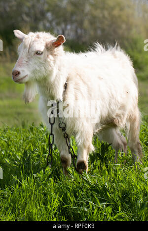 One white goat on green grass in a field - Stock Photo