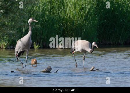 Common / Eurasian crane (Grus grus) pair released by the Great Crane Project in 2010, with their young chick in a marshland pool, Slimbridge, Glos, UK - Stock Photo