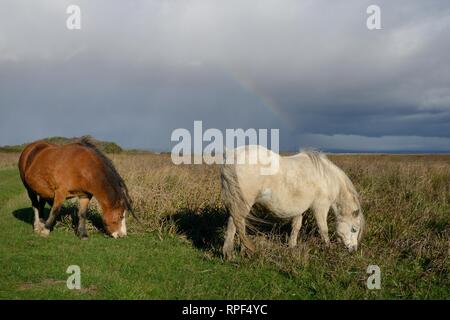 Two Welsh mountain ponies (Equus caballus) grazing grass and saltmarsh vegetation with a rainbow in the background, Whiteford Burrows, Gower, Wales. - Stock Photo