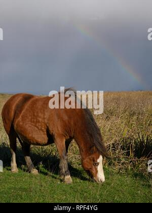 Welsh mountain pony (Equus caballus) grazing grass on a stormy day with a rainbow in the background, Whiteford Burrows, The Gower Peninsula, Wales, UK - Stock Photo