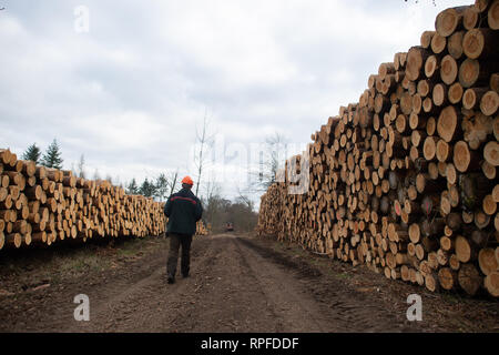 21 February 2019, Saxony-Anhalt, Flechtingen: Thomas Roßbach, head of the forestry department of the Landeszentrum Wald Sachsen-Anhalt, passes several metres high dams of conifers. The trees had been attacked by pests and thus weakened. At present, entire forest areas near Flechtingen are being cleared in order to counteract mass propagation of the pests. The foresters of the Landeszentrum Wald Sachsen-Anhalt attribute the damage to the coniferous forests to the drought in 2018. After the sick trees have been cleared, they are to be reforested with climate-resistant and site-suitable tree spec - Stock Photo